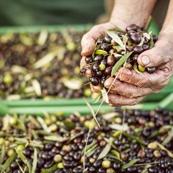 Utilizzo degli ultrasuoni per  l'estrazione dell'olio extra vergine di oliva di A. Leone
