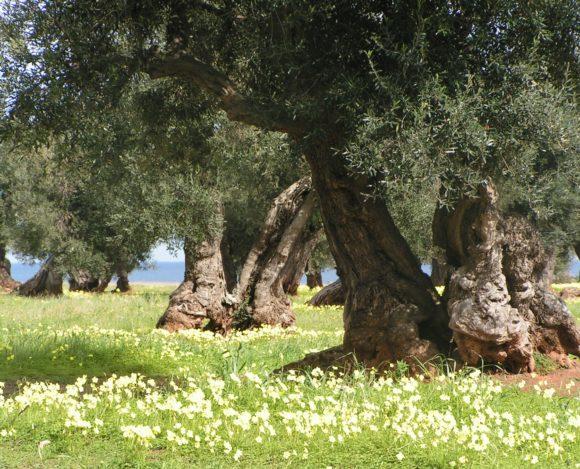 Progettazione dell'oliveto di S. Camposeo